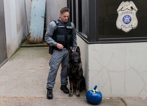 Joed Viera/Staff Photographer-Lockport Police K9 Officer Matt Streckewald and his partner Hulk stand by a Pumpkin painted blue in memorial of Buffalo K9 Officer Craig Lehner. Streckewald and Hulk both trained alongside Lehner and his partner Shield. Lockport police officer Julie Snyder painted over 30 Harris Farms pumpkins and placed them throughout One Locks Plaza.