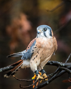 One of the birds highlighted in the raptor photo opportunity at Nature Visions Photo Expo 2017.