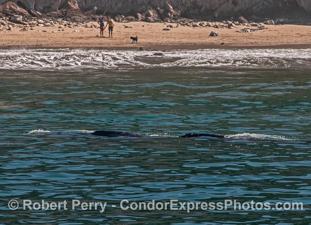 Eschrichtius robustus cow-calf people on beach 2017 04-29 SB Coast-182