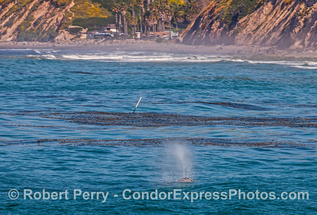 Eschrichtius robustus cow-calf Hendrys Beach 2017 04-29 SB Coast-001