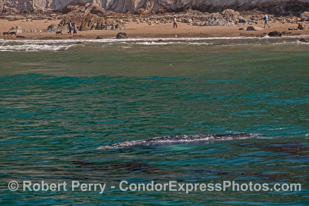 Eschrichtius robustus cow-calf near beach 2017 04-29 SB Coast-104