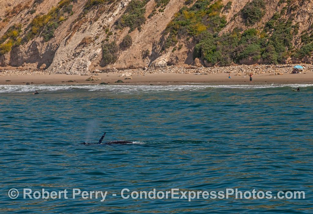Eschrichtius robustus cow-calf near beach 2017 04-29 SB Coast-163