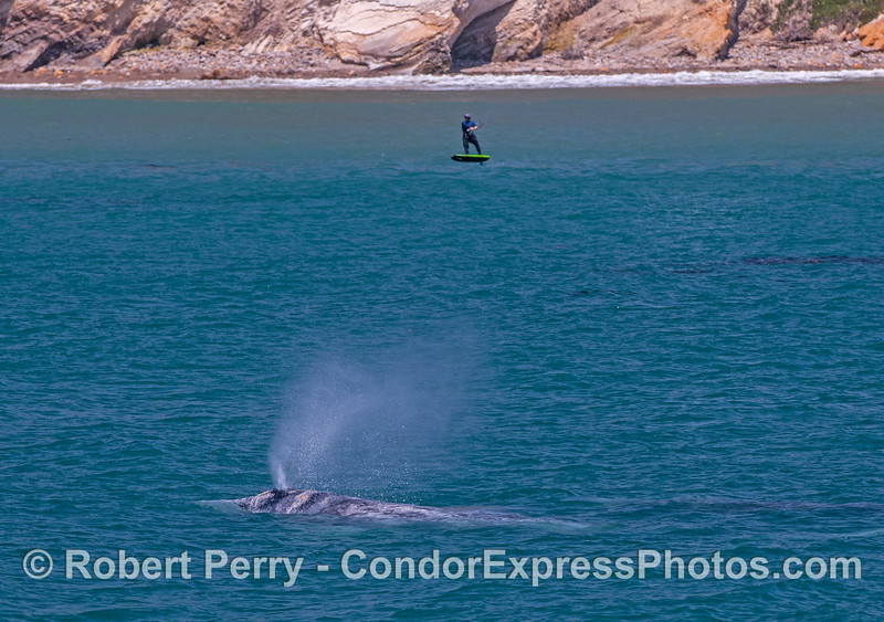 Eschrichtius robustus cow-calf kite surfer 2017 04-29 SB Coast-302