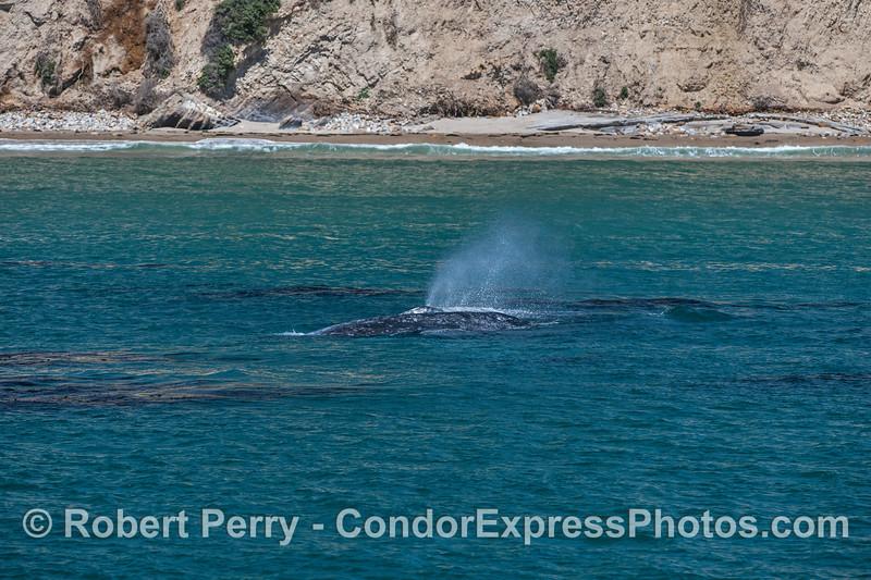 Eschrichtius robustus cow-calf 2017 04-29 SB Coast-501