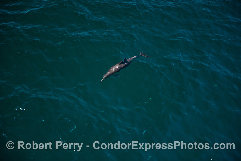 Dolphins hunting and fish scattering.