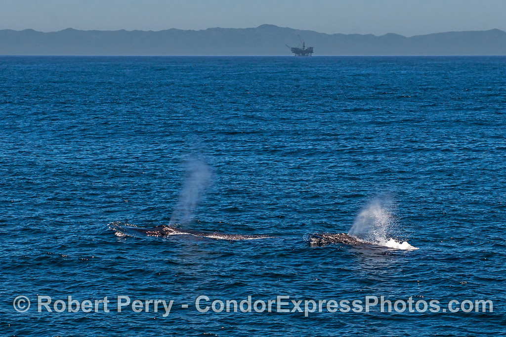 Rope (the humpback whale) and her calf with Platform Habitat in back.