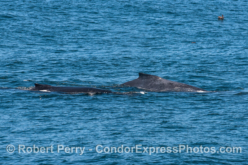 Mother humpback (Rope) and her calf.