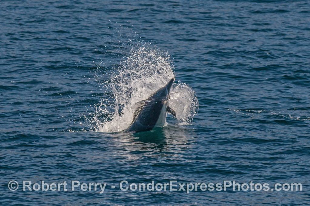 A dramatic feeding lunge by a common dolphin chasing anchovies.
