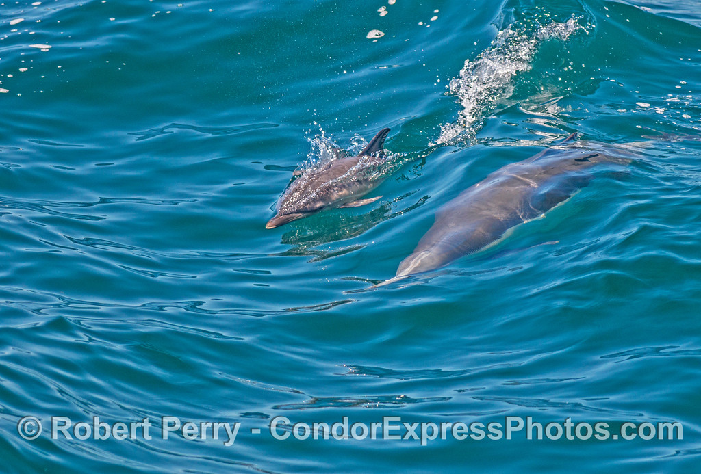 Mother common dolphin (underwater) and her calf.