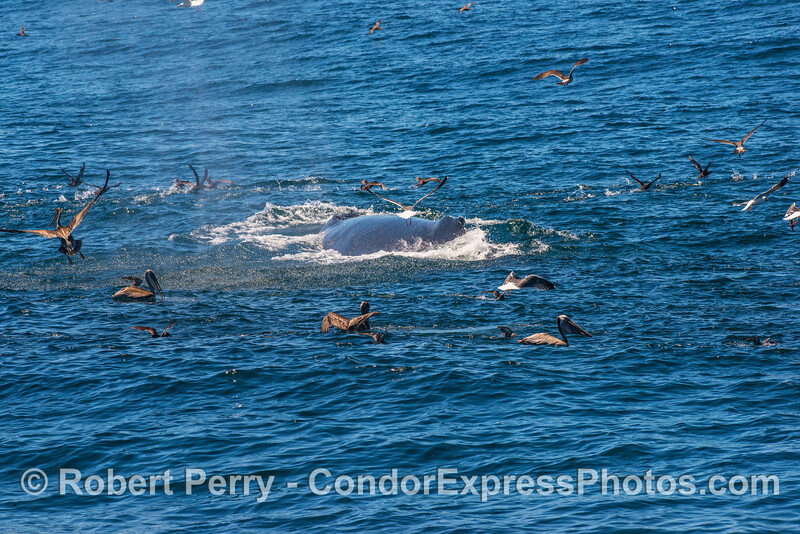 Humpback whale surface in the middle of an oceanic hot spot surrounded by sooty shearwaters, brown pelicans, and gulls.