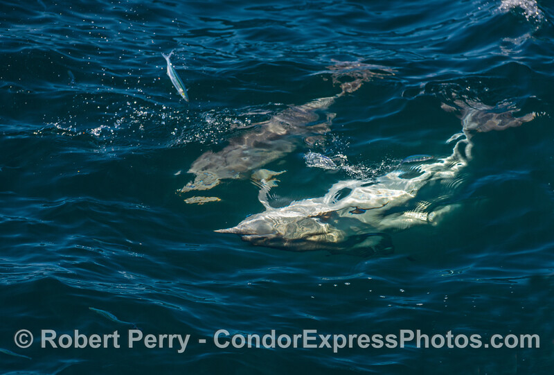 Dolphins hunting upside down and fish jumping for their lives.