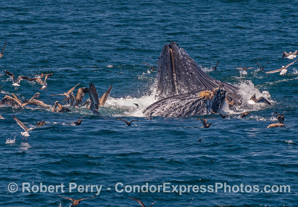 One of our regular humpback whales, Rope, is seen here surface lunge-feeding alongside her new calf.  Sooty shearwaters and brown pelicans have joined the feeding hotspot.