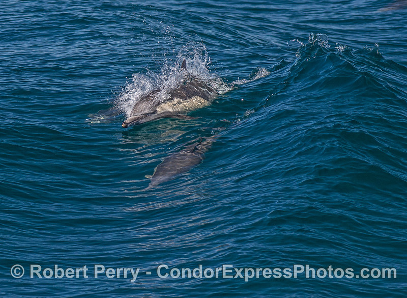 Surfing dolphins.  Looking for food too?