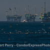 """Offshore service vessel """"Alan T"""" heads back to the harbor after servicing Platforms C, B, A and Hillhouse.  Diving birds and dolphins indicate an ocean hot spot in the foreground."""