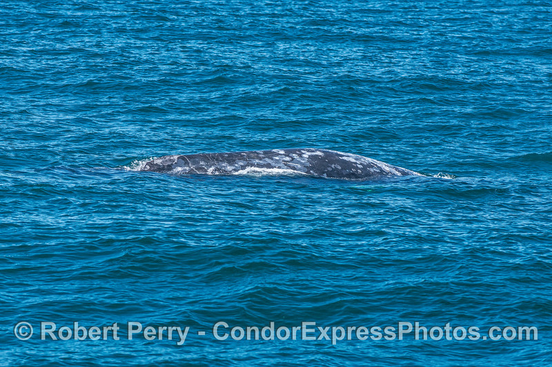 A northbound gray whale in mid-June