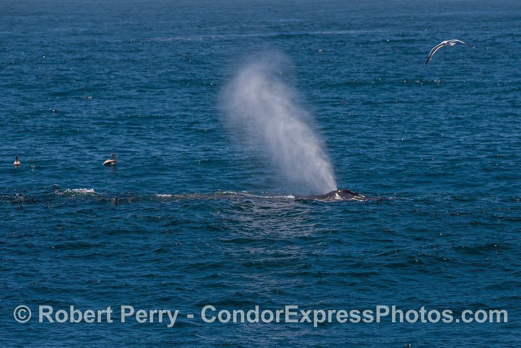 "Our humpback friend ""Rope"" and a nice spout."