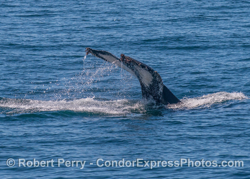 Humpback whale tail flukes - mostly white with black trim.
