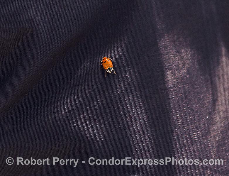 Hippodamia convergens Convergent Ladybugs on Suellen jacket 2017 04-28 SB Coast-a-002