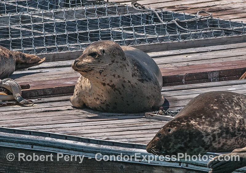 Phoca vitulina hauled on bait barge 2017 04-28 SB Harbor-002
