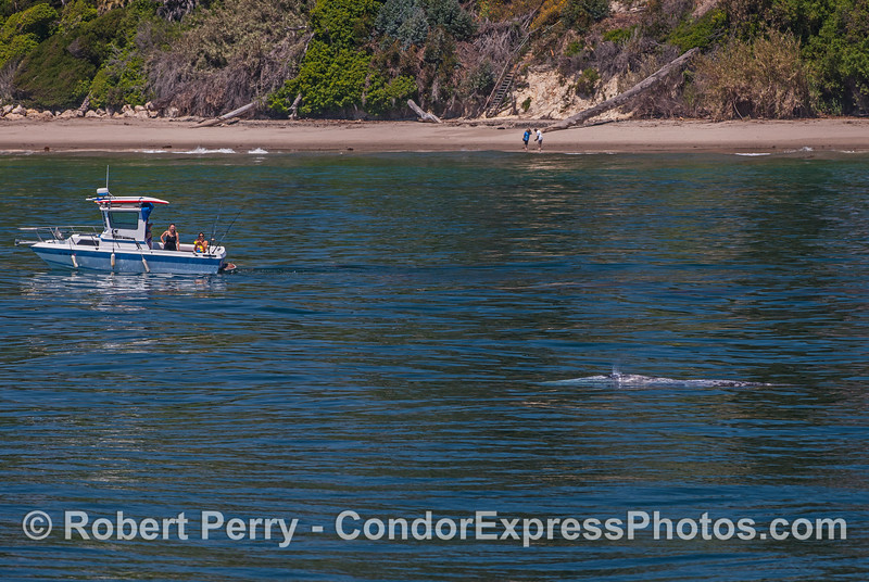 Eschrichtius robustus cow-calf & small boat 2017 04-30 SB Coast-090