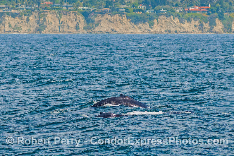 A pair of humpback whales near Santa Barbara.