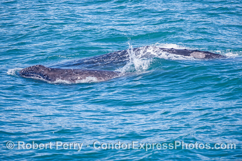 Image 2 of 2:  a little gray whale calf pokes its head up and takes a look around.
