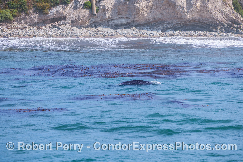 Migrating north through the coastal kelp super highway.