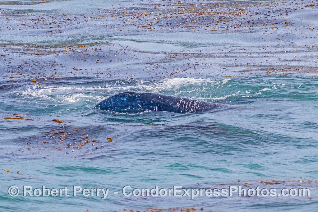 Gray whale calf in the kelp.