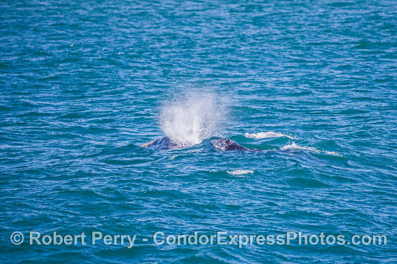 Mother gray whale (left) and her tiny calf.
