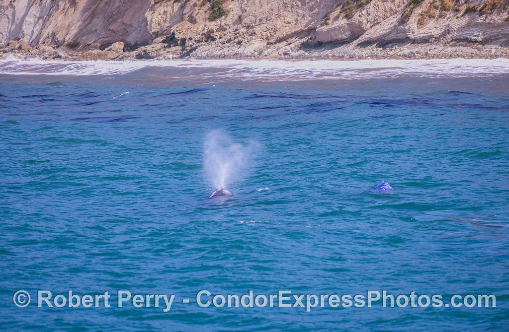Mother gray whale spouting with calf on her right side...very close to shore.