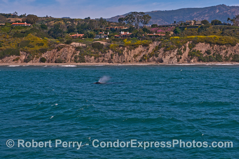 Wind and gray whale spout spray - Santa Barbara coast.