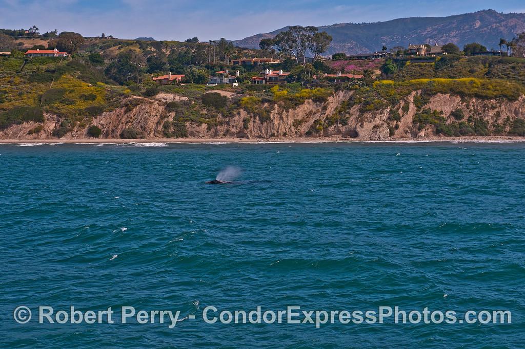Wind and gray whale spout spray - Santa Barbara coast.