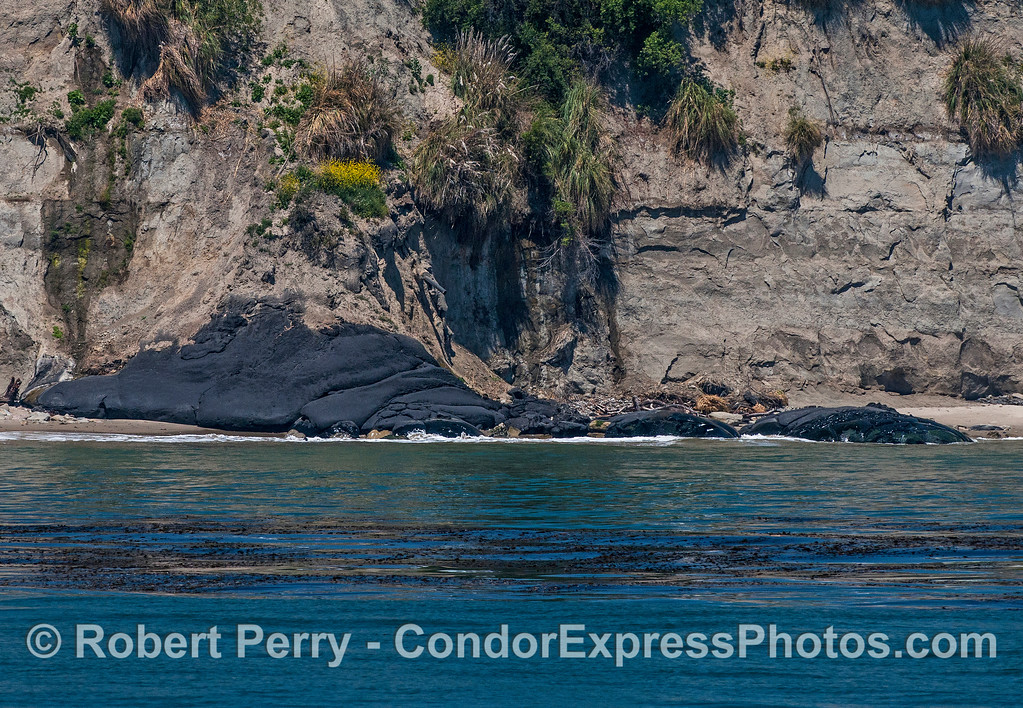 Natural asphalt seep at the base of sea cliffs in Goleta.