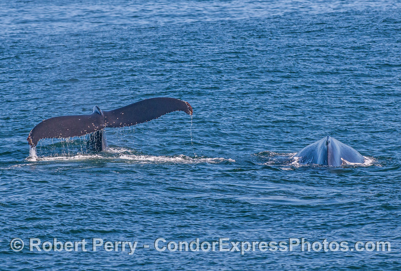 Humpback whales, side by side.