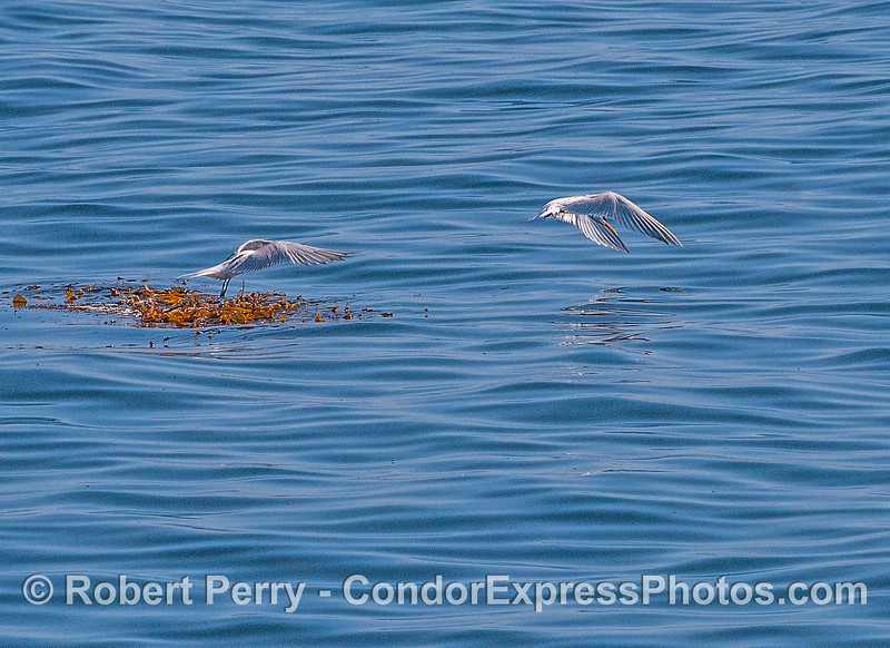 Two elegant terns taking flight from a small patch of drifting giant kelp.