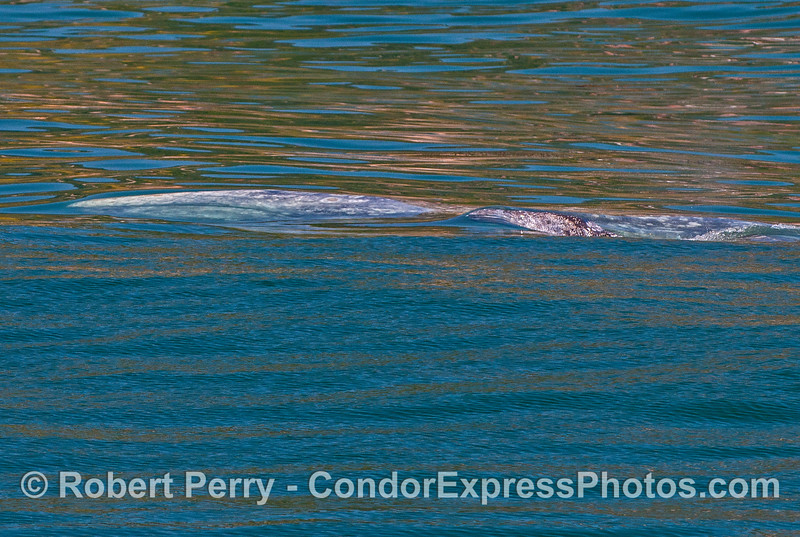 "Great underwater look of a mother gray whale's head (she may be illustrating my ""using ocean waves as windows"" hypothesis), and her calf coming up for air."