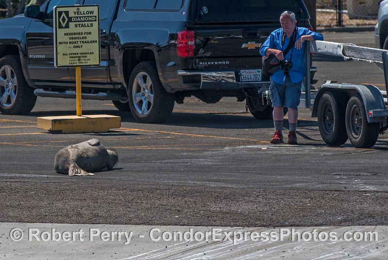 A photographer takes a break from his subject:  an elephant seal that  has decided to crawl up the boat ramp and fall asleep in the harbor parking lot.
