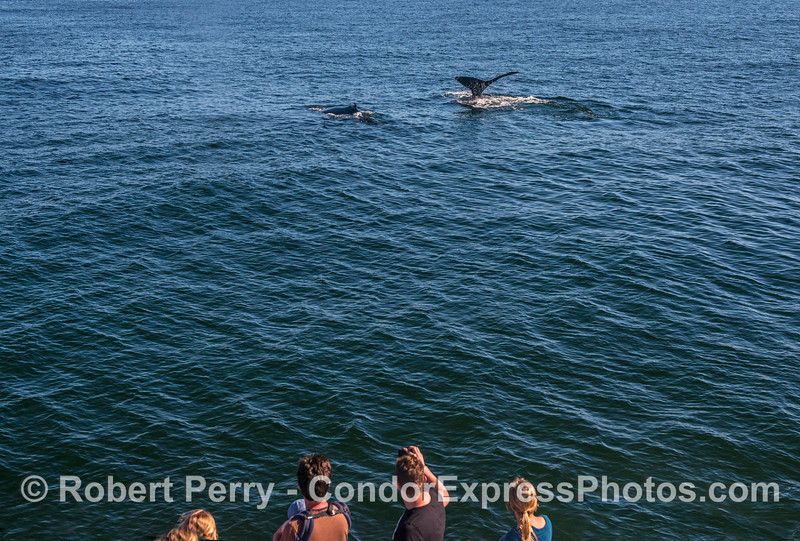 Humpback whales and whale-watchers.