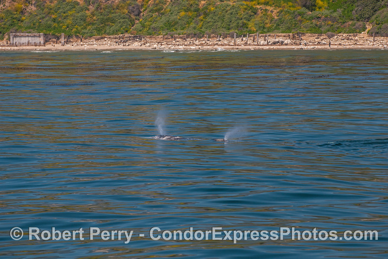 Twin spouts, mother and calf gray whales west of Sands Beach.