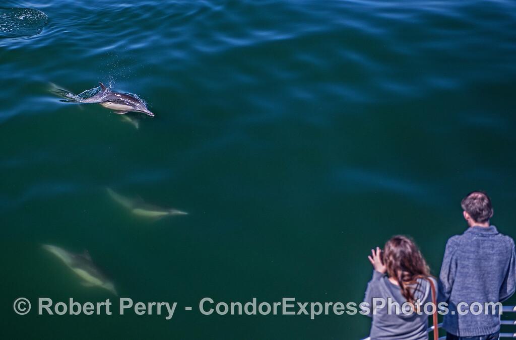 Delphinus capensis & passengers 2017 05-02 SB Coast-a-033
