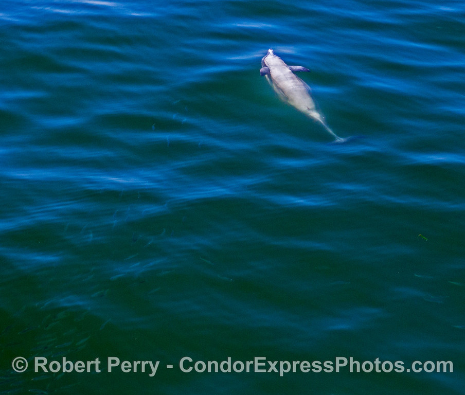 Delphinus capensis upside down feeding Engraulis mordax 2017 05-02 SB Coast-a-068