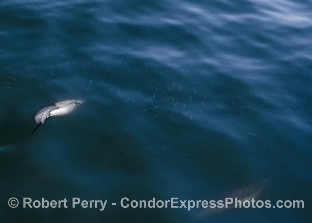 Delphinus capensis chasing Engraulis school 2017 05-02 SB Coast-a-020