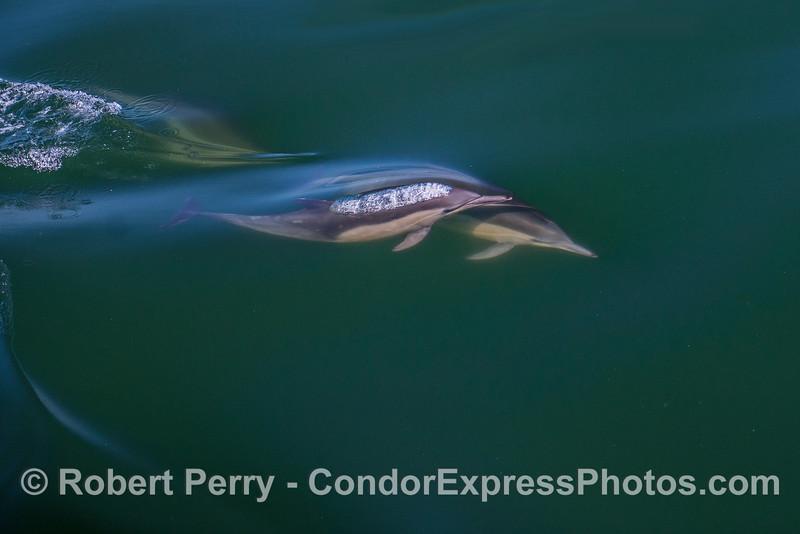 Delphinus capensis TWO 2017 05-02 SB Coast-a-014