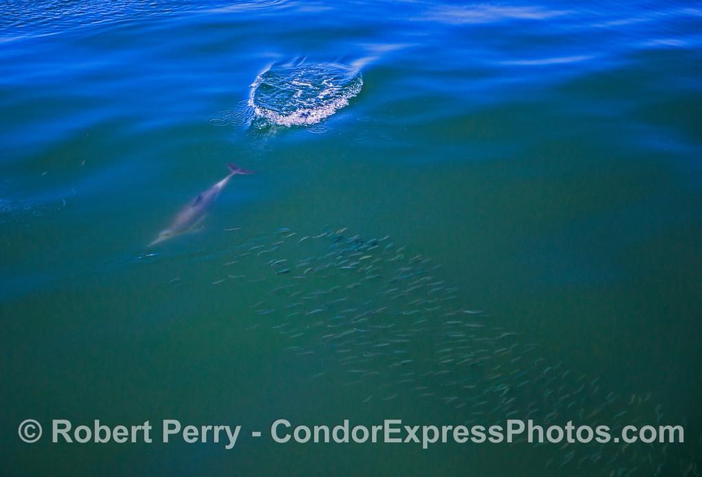 Delphinus capensis UW feeding Engraulis mordax 2017 05-02 SB Coast-a-011