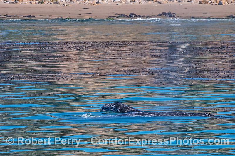 Eschrichtius robustus cow-calf chin lift near beach 2017 05-02 SB Coast-b-053