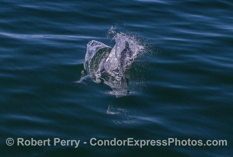 Delphinus capensis upside down feeding Engraulis mordax 2017 05-02 SB Coast-a-070