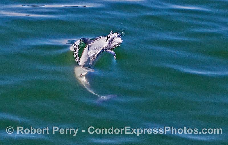 Delphinus capensis upside down feeding Engraulis mordax 2017 05-02 SB Coast-a-069