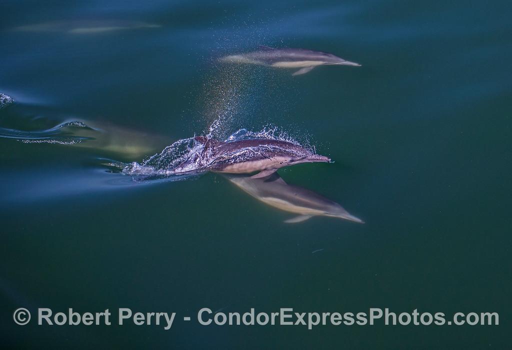 Delphinus capensis 2017 05-02 SB Coast-a-015