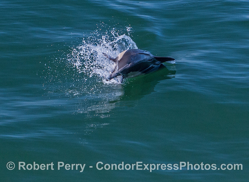 Delphinus capensis feeding with Engraulis mordax in mouth 2017 05-02 SB Coast-a-035