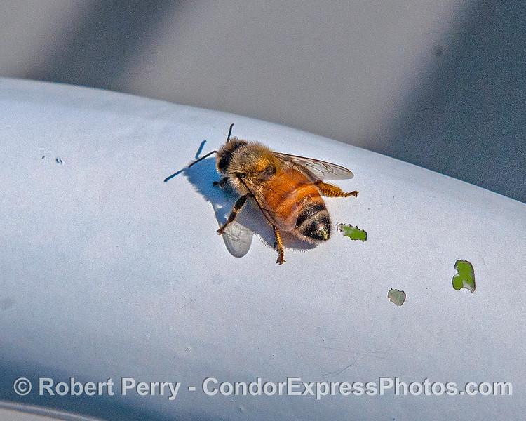 Apis mellifera honey bee 2017 05-03 SB Coast-a-001